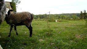Les jeunes moutons bruns frôlent l'herbe verte fraîche banque de vidéos