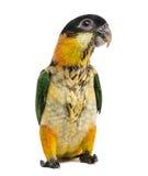 Les jeunes Noir-couverts Parrot (10 semaines de) Photographie stock