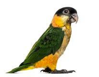 Les jeunes Noir-couverts Parrot (10 semaines de) Photo libre de droits