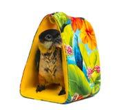 Les jeunes Noir-ont couvert le perroquet (10 semaines de) se tenant dans un sac Photographie stock