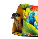 Les jeunes Noir-ont couvert le perroquet (10 semaines de) se tenant dans un sac Image libre de droits