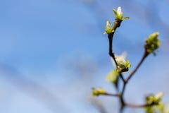 Les jeunes nouvelles feuilles se sont réveillées après cloe de temps d'hiver au printemps vers le haut de sho Images libres de droits