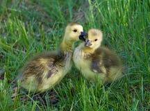 Les jeunes oies embrassent Photographie stock libre de droits