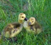Les jeunes oies parlent Photo stock