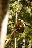Les jeunes ont couronné le lémur, coronatus d'Eulemur, mangeant la réservation d'Ankaran de mangue, le Madagascar Photos libres de droits