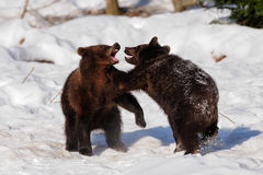 Les jeunes ours bruns jouent Image libre de droits