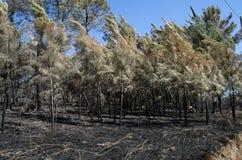 Les jeunes pins ont brûlé et courbure par une tempête de feu - Pedrogao grand Images libres de droits