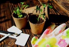 Les jeunes plantes dans les pots de tourbe avec des gants Photos libres de droits