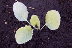 Les jeunes plantes de l'élevage de chou rouge Images stock
