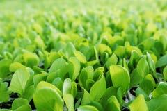 Les jeunes plantes de laitue, laitue verte plante le fond végétal Ferme de laitue photos stock