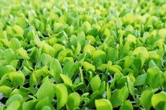 Les jeunes plantes de laitue, laitue verte plante le fond végétal Ferme de laitue photo libre de droits