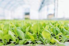 Les jeunes plantes de laitue, laitue verte plante le fond végétal Ferme de laitue photographie stock