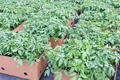 Les jeunes plantes de tomate, préparent pour le transport, jeune feuillage de tomate Photographie stock