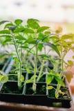 Les jeunes plantes des aubergines, tomates, les poivrons doux se développent sur la fenêtre dans la terre un jour ensoleillé Conc photos libres de droits