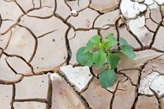 Les jeunes plantes poussent l'élevage sur la terre sèche et criquée Photo stock