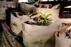 Les jeunes plantes s'élevant dedans élèvent des sacs Image stock