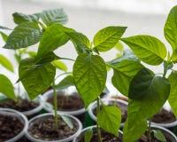 Les jeunes plantes saines de poivre sont en verres sur le rebord de fenêtre Photographie stock libre de droits