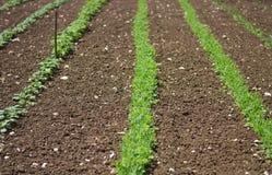 Les jeunes plantes se développent dans le domaine biologique sans pesticides photo libre de droits