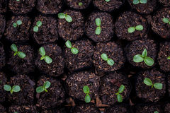 Les jeunes plantes sont prêtes pour planter pour des espèces à images libres de droits