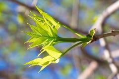Les jeunes pousses de vert d'érable se développent des bourgeons sur une branche au printemps image libre de droits