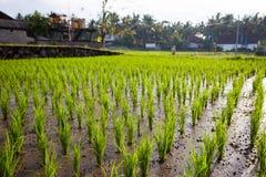 Les jeunes pousses du riz dans un domaine Photo libre de droits
