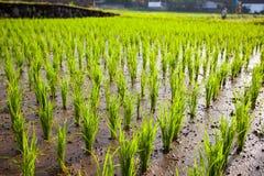 Les jeunes pousses du riz dans un domaine Photos libres de droits