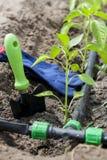 Les jeunes pousses poivrent et les outils de jardin avec l'irrigation par égouttement Images libres de droits