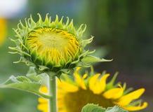 Les jeunes tournesols, tournesols sont se développent contre un ciel lumineux Photographie stock libre de droits