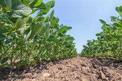 Les jeunes usines vertes de soja avec de grandes feuilles se développent dans le domaine images stock
