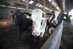 Les jeunes vaches noires et blanches dans la moitié ouvrent l'écurie Photo stock