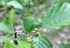 Les jeux d'amour sont les scarabées bleus Images libres de droits