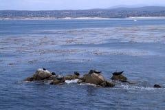 Les joints se reposent sur des roches près du rivage de la baie de mer Image libre de droits