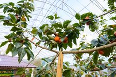 Les kakis sur l'arbre de kaki sont fruit organique au weath frais Photo stock