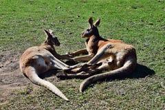 Les kangourous rouges se trouvant dedans ont arrangé dans le signe du coeur et de l'amour Image stock