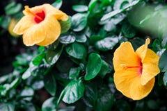 Les ketmies jaunes fleurissent avec la rosée sur les pétales Image stock