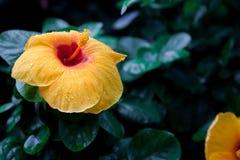 Les ketmies jaunes fleurissent avec la rosée sur les pétales Images stock