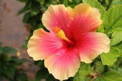 Les ketmies roses et humides fleurissent - des ketmies rosa-sinensis Images stock