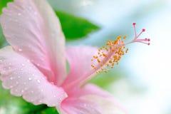 Les ketmies roses fleurissent la floraison avec la baisse de l'eau sur n vert brouillé Photos stock