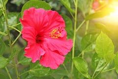 Les ketmies roses l'horticulture sur l'arbre en parc Jardin botanique de Taormina L'île de la Sicile, Italie photographie stock