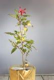 Les ketmies rouges autoguident l'usine dans le pot de fleurs en céramique jaune Photographie stock libre de droits