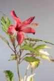 Les ketmies rouges autoguident la fleur d'usine Images stock