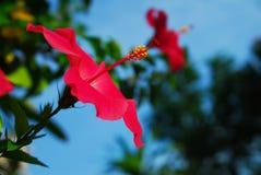Les ketmies rouges fleurissent dans le jardin faisant face vers le haut Image libre de droits