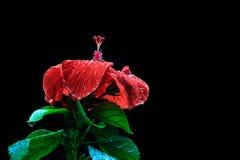Les ketmies rouges fleurissent la fleur rouge humide de pluie sur le beau noir de fond images stock