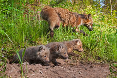 Les kits de Fox rouge (vulpes de Vulpes) rampent hors du repaire Images libres de droits