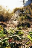 Les légumes de arrosage avec l'arrosage peuvent à la ferme photo libre de droits