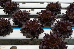 les légumes de redoke à la culture hydroponique cultivent, nouveau système développé image libre de droits