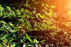 Les légumes grandissants (persil) et l'arrosage pour se développent Photo libre de droits