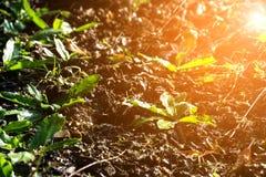 Les légumes grandissants (persil) et l'arrosage pour se développent Photo stock