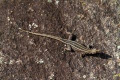 Les lézards au Zimbabwe photographie stock