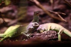 Les lézards mangent des légumes Image libre de droits